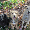 Lilah, Tucker and Jasper--the three dogs from Life with Dogs and Cats