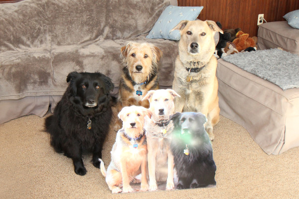 Three dogs and their flat pet versions