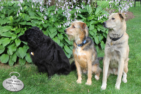 Three dogs sitting by hosta
