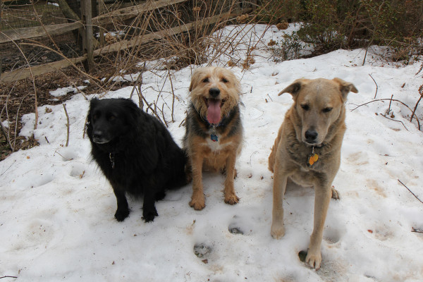 Three dogs on a last pile of snow