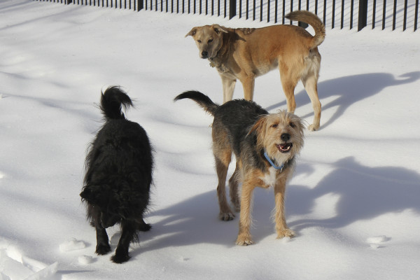 Three dogs casting shadows on top of frozen snow