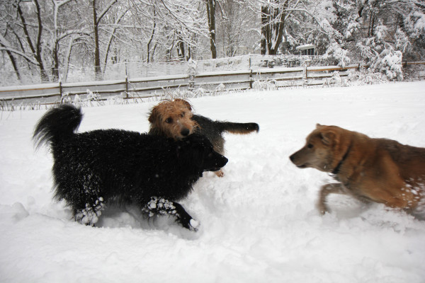 Three dogs playing in the snow.