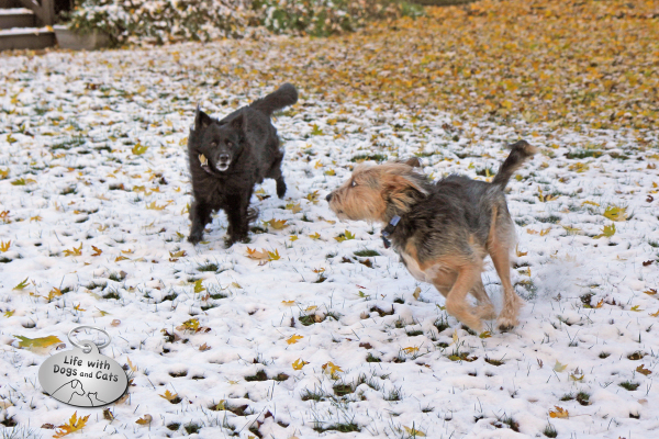 Dogs playing in leaves and snow