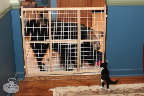 Lilah and Tucker examine Calvin who is safely gated in the dining room.