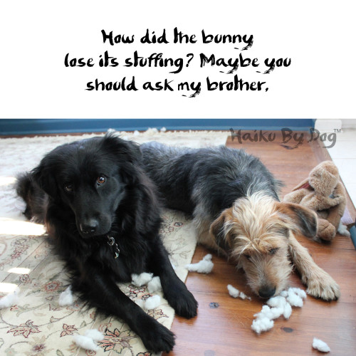 Haiku by Dog: How did the bunny / lose its stuffing? Maybe you / should ask my brother.