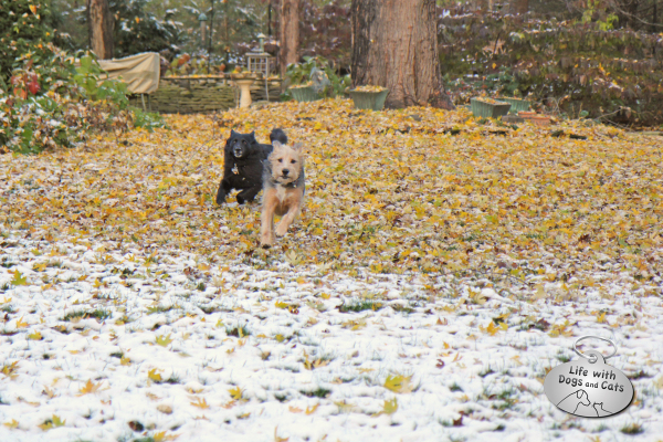 Dogs running through leaves and snow