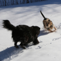 Two dogs -- Lilah and Tucker -- love playing chase in the snow.
