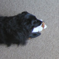Lilah chewing fox whiskers before chaos