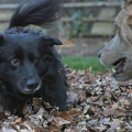 Lilah and Jasper, two of the dogs from Life with Dogs and Cats, play in leaves