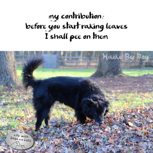 my contribution: / before you start raking leaves / I shall pee on them #HaikuByDog #HaikusDay #Dog