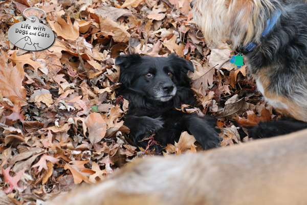 Lilah in leaves with Jasper and Tucker dogs