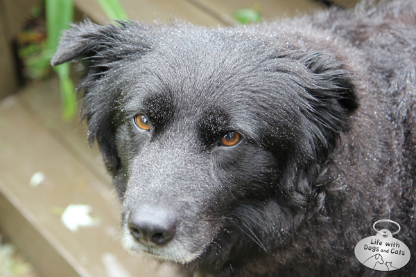 Lilah, misty dog. I love how water droplets show up so well on her black fur.