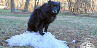 A Black Dog's Lament: Where's My Snow?