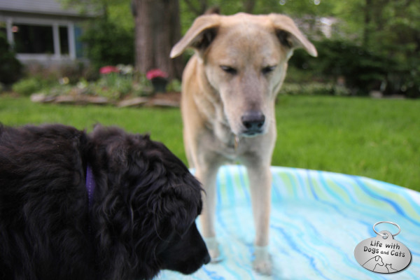Lilah, a Border Collie mix, encourages Jasper, a catahoula hound mix, to enjoy the pool.