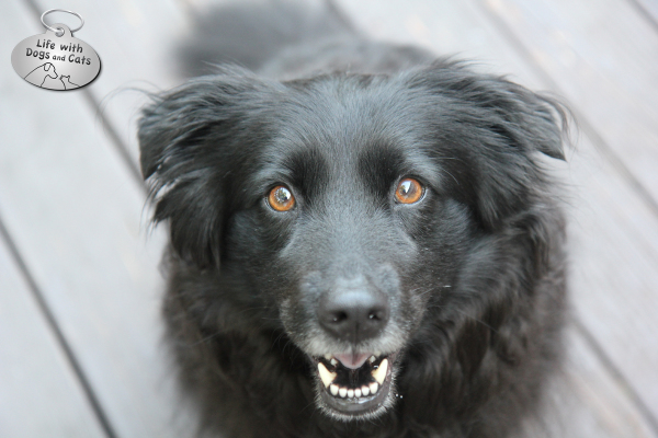 Lilah, one of the dogs from Life with Dogs and Cats, is a sweet Border Collie mix.