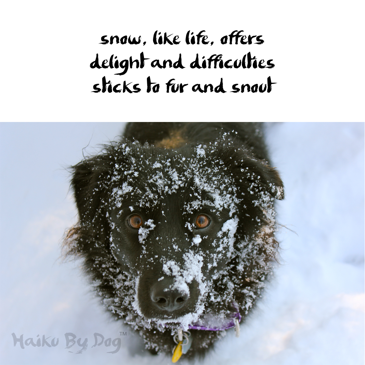 Haiku by Dog: snow, like life, offers / delight and difficulties / sticks to fur and snout