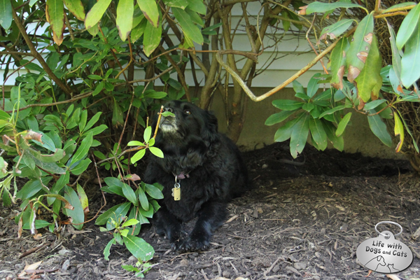 Not is Lilah hiding under the rhododendron, but I think she's trying to disguise herself with a leafy moustache.