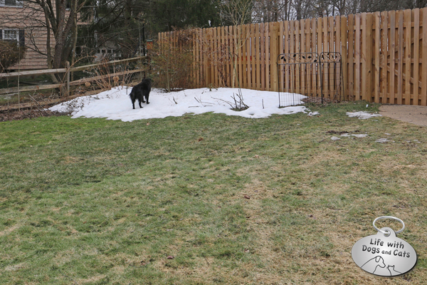 Lilah visiting one of the last vestiges of snow in our yard.