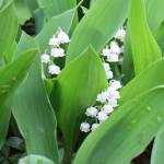 These lily of the valley are extra special because they came from my mom's garden.