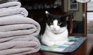 I Don't Always Lie on Your Towels #MostInterestingCatInTheWorld