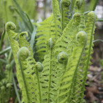 I love the way ostrich ferns look when they are first coming up.