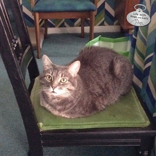 Penny making herself comfortable on one of the dining room chairs, near my mom.
