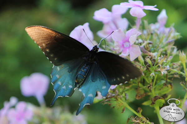 Pipevine Swallowtail on phlox