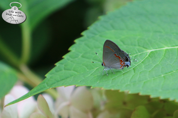Red banded hairstreak on hydrangea leaf