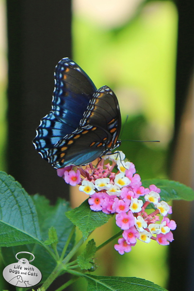 Red-spotted Purple butterfly on lantana
