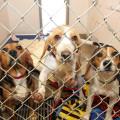 Reno Gizmo Twinkle beagles SRAS logo