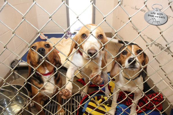 Three beagles up for adoption at the Somerset Regional Animal Shelter