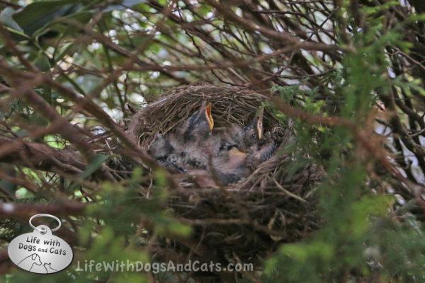 Three robin chicks