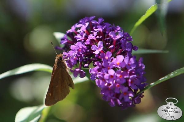 Sachem butterfly  on lantana