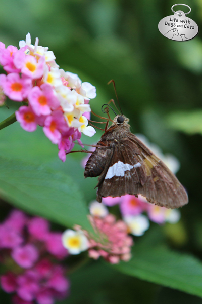 Silver-spotted Skipper on lantana