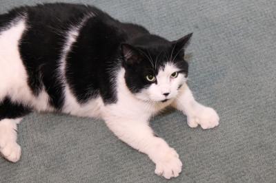 6 toed-cat