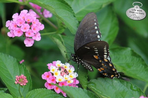 Spicebush Swallowtail on lantana