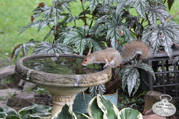 Squirrel takes a drink from a birdbath.