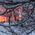 Sunset through magnolia with snow