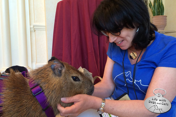 Here I am at BlogPaws 2014 with a capybara. I had always wanted to meet one. She was like a giant guinea pig. I was  in love.