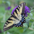 Female Tiger Swallowtails on butterfly bush.