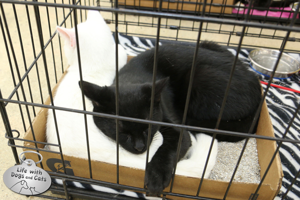 Starsky and Hutch, two of the cats available at the adoption event at Tractor Supply Company store