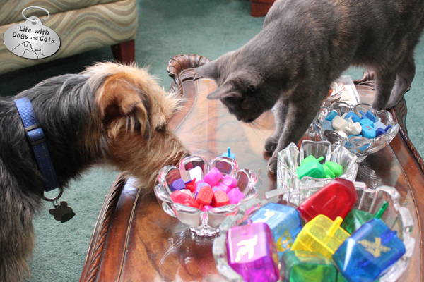 Athena and Tucker keep a close watch on the spinning dreidel.