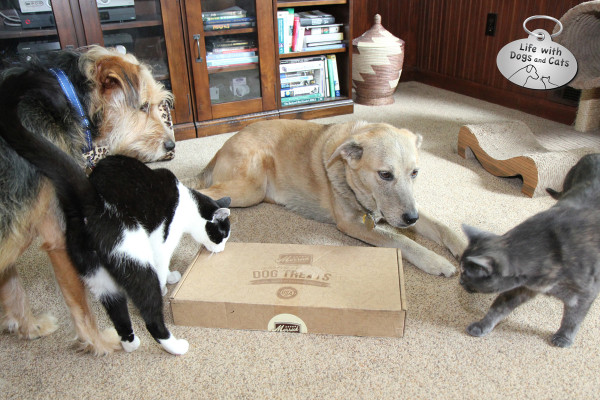 Athena comes close to the box of treats while Tucker and Jasper (and Calvin the cat) watch.