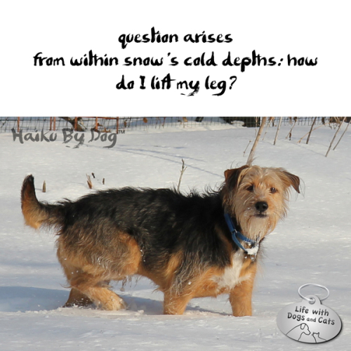 Haiku by Dog: question arises / from within snow's cold depths: how / do I lift my leg?