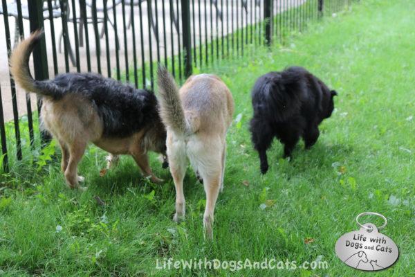 Tucker and Jasper sniffing, Lilah walking away
