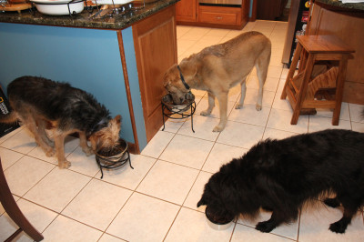 The dogs get their dinner