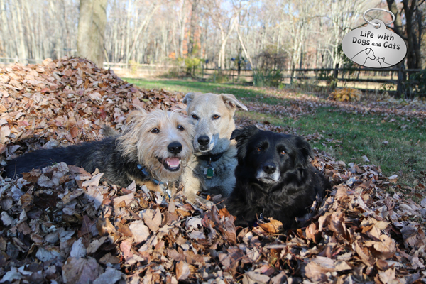 Tucker, Jasper, and Lilah love helping with the fall yardwork. If by helping you mean playing in the leaf piles.