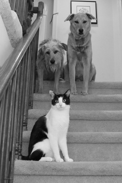 Cat poses with two dogs