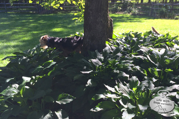 Dogs looking for chipmunks hidden in the hosta