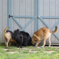 Three dogs sniff under the shed.